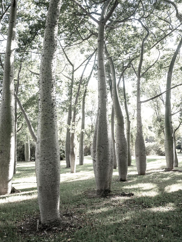 The Silk Cotton tree